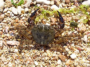 Marbled rock crab (Pachygrapsus marmoratus).