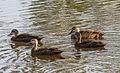 Pacific Black Ducks - Durack Lakes - Palmerston - Northern Territory - Australia.jpg