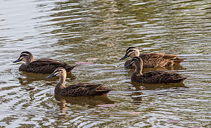 Pacific black duck - Image: Pacific Black Ducks Durack Lakes Palmerston Northern Territory Australia