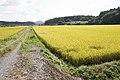 Paddy field in Kasama, Ibaraki 04.jpg