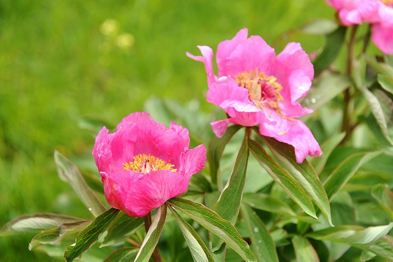 File:Paeonia officinalis - GBA Viote 13.jpg