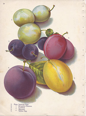Damson - Shropshire Damson, shown at centre left. Other plums shown are Imperial Gage (labelled 1), Lombard (3), Maynard (4) and Yellow Egg (5).