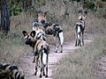 Painted dogs, Lycaon pictus (9135700463).jpg