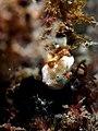 Painted frogfish (Antennarius pictus) (14226015807).jpg