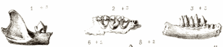 Eine Schwarz-Weiß-Skizze von drei Ansichten der Kiefer und Zähne einer fossilen Fledermaus