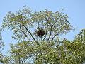 Pallas's Fish-eagle Haliaeetus leucoryphus nest by Dr. Raju Kasambe DSCN0662 (12).JPG