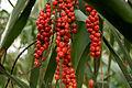 Palm Berries (4507610585).jpg