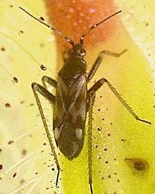 Uma estranha Protocarnívora 220px-PamerideaRoridulaeDetailEdit