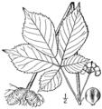 Panax quinquefolius BB-1913.png