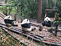 Pandas in the Pandas reproduction center, near Chengdu - panoramio.jpg