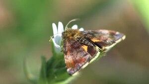 File:Panemeria tenebrata - Wollenberg 2011.ogv