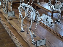 Panthera pardus skeleton.JPG