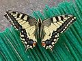 Papilio machaon (28221585627).jpg