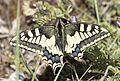 Papilio machaon - Kırlangıçkuyruk.jpg