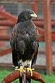 Parabuteo unicinctus -Gentleshaw Wildlife Centre, Staffordshire, England-8a.jpg