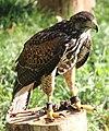 Parabuteo unicinctus Slovenia Harris's hawk IMG 9401.jpg