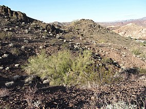 Parkinsonia aculeata Buckskin Mountain SP.jpg