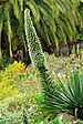 Parque del Drago - Echium simplex 01.jpg