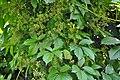 Parthenocissus quinquefolia Woodbine ამერიკული უსურვაზი (2).JPG