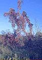 Parthenoscissus quiquefolia01.jpg