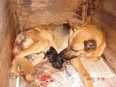 Hembra del pastor alemán y dos cachorros luego del parto