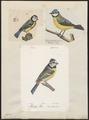 Parus caeruleus - 1700-1880 - Print - Iconographia Zoologica - Special Collections University of Amsterdam - UBA01 IZ16100145.tif