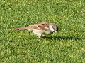 Passer domesticus in the grounds of the Le Royal Méridien Beach Resort and Spa in Dubai.jpg