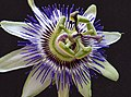Passiflora (5675162893).jpg