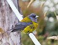 Patagonian Sierra-Finch (8443644486).jpg