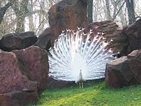 The exuberant tail of the peacock is thought t...