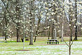 Pear tree (25744872276).jpg