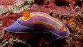 Pectenodoris trilineata (Nudibranch).jpg