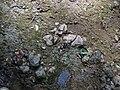 Pedogenic breccia (Conemaugh Group, Upper Pennsylvanian; creek cut on the western side of Caldwell, Ohio, USA) 12.jpg