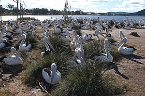 Pelecanus conspicillatus -Brisbane Water, Broken Bay, New South Wales, Australia -colony-8.jpg