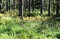 Pelkėtas miškas, Musteikos apylinkės.JPG