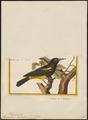 Pendulinus dominicensis - 1700-1880 - Print - Iconographia Zoologica - Special Collections University of Amsterdam - UBA01 IZ15800221.tif