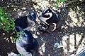 Penguins at Boulders Beach, Cape Town (27).jpg