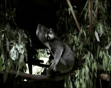 Fichier:Perception-of-Male-Caller-Identity-in-Koalas-(Phascolarctos-cinereus)-Acoustic-Analysis-and-pone.0020329.s001.ogv