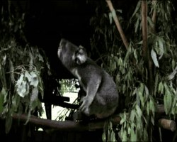 Slika:Perception-of-Male-Caller-Identity-in-Koalas-(Phascolarctos-cinereus)-Acoustic-Analysis-and-pone.0020329.s001.ogv