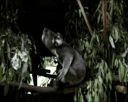 Ficheru:Perception-of-Male-Caller-Identity-in-Koalas-(Phascolarctos-cinereus)-Acoustic-Analysis-and-pone.0020329.s001.ogv