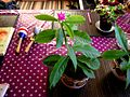 Pereskia Grandifolia 02.jpg