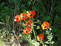 Persian Buttercups 04.jpg