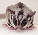 Petaurus breviceps 1.jpg