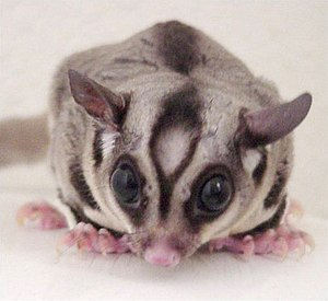 Sugar glider - This male's forehead bald spot is a scent gland. The eyes are adapted for night vision and the ears swivel.
