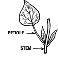 Petiole 2 (PSF).png