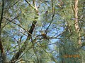 Pheasant like bird on a tree.JPG