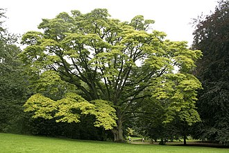 Huáng bǎi - A fully mature (150 yr) Phellodendron amurense tree. Huáng bǎi is typically harvested from trees 10 years old.