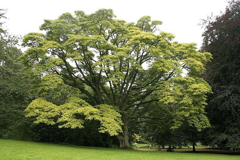 phillodendron arbre