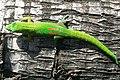 Phelsuma laticauda.jpg