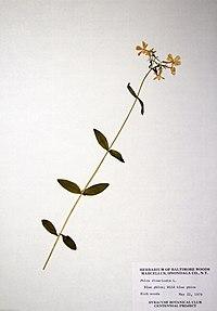 Phlox divaricata ssp. divaricata BW-1979-0522-0510.jpg